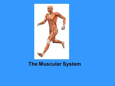 The Muscular System Muscular System Muscle Tissue and Connective Tissue Somewhere in your body a muscle is working. Try as you might to keep still, you.