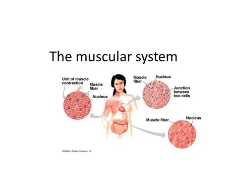 The muscular system. Three types of muscle Smooth muscle is an involuntary muscle. Example – digestive system Cardiac muscle is an involuntary muscle.