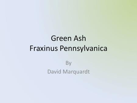 Green Ash Fraxinus Pennsylvanica By David Marquardt.