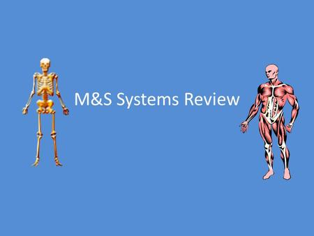M&S Systems Review. Voluntary Muscles – Under conscious control of the nervous system – Examples: arm and leg muscles Involuntary muscles – Not under.