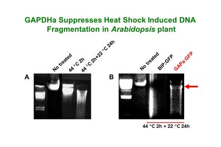 GAPDHa Suppresses Heat Shock Induced DNA Fragmentation in Arabidopsis plant No treated 44  C 2h 44  C 2h+22  C 24h No treated BIP:GFP GAPa:GFP 44 