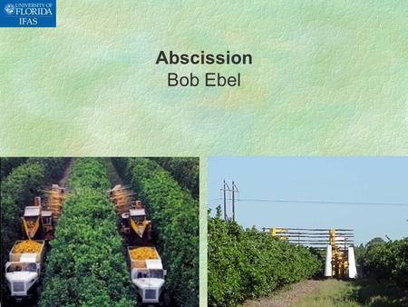 Abscission Bob Ebel. SWEET ORANGE PRODUCTION IN FLORIDA  Total production: 577,000 acres  Mechanically harvested: 35,000 acres ( 7%)  Hand harvested: