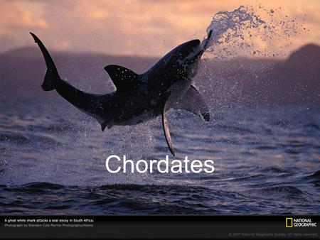 Chordates. A chordate (Phylum Chordata) is an animal that has, for at least some stage of its life, a dorsal, hollow nerve cord; a notochord; pharyngeal.
