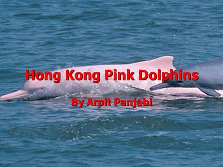 Hong Kong Pink Dolphins By Arpit Panjabi. What is happening to them? Pink Dolphins are a endangered species around the world. Even here in Hong Kong Pink.