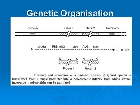 Genetic Organisation. In Prokaryotes  Transcrition and translation occurs in same compartment (cytoplasm)  Simultaneous; m-RNAs are short-lived (afew.