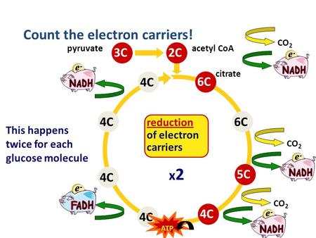 4C6C4C 2C6C5C4C CO 2 citrate acetyl CoA Count the electron carriers! 3C pyruvate reduction of electron carriers This happens twice for each glucose molecule.