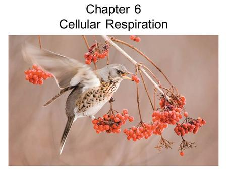 Chapter 6 Cellular Respiration. Outline Day 1 –Energy Flow and Carbon Cycling –Overview of Energy Metabolism –Redox Reactions –Electrons and Role of Oxygen.