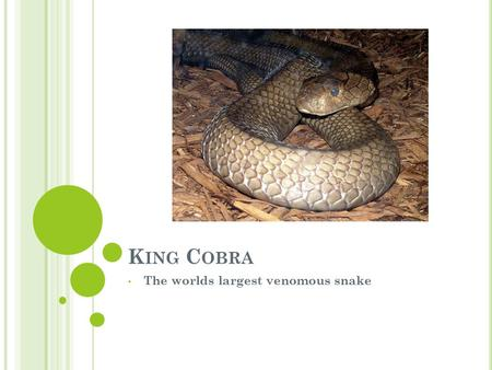 K ING C OBRA The worlds largest venomous snake. These snakes are found in India, southeast Asia to Philippines and Indonesia The King Cobra reaches a.