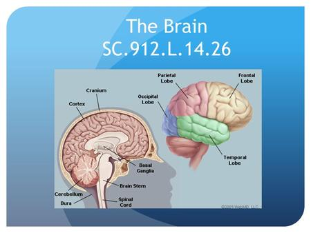The Brain SC.912.L.14.26. The central nervous system (CNS) include the brain and spinal cord. The CNS is composed of interneurons that interact with other.