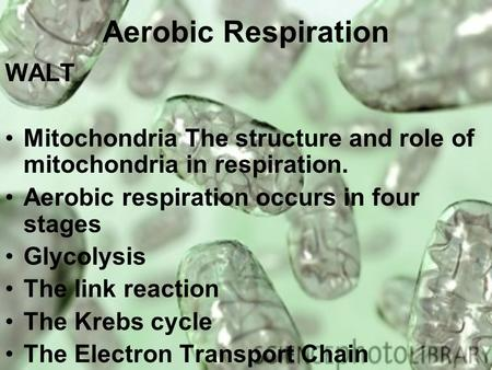 Aerobic Respiration WALT Mitochondria The structure and role of mitochondria in respiration. Aerobic respiration occurs in four stages Glycolysis The link.