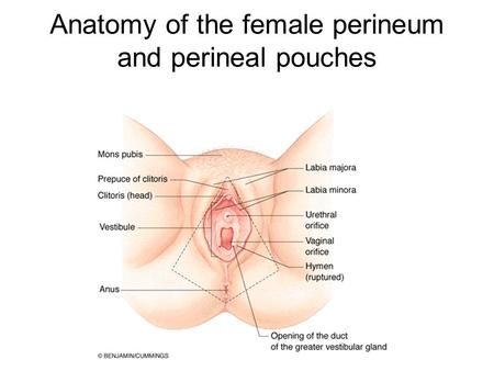Anatomy of the female perineum and perineal pouches.