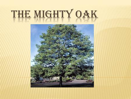  White Oaks grow 50'- 80', with an equal spread.  A mature, healthy tree can have 200,000 leaves each year. During 60 years of life, such a tree would.