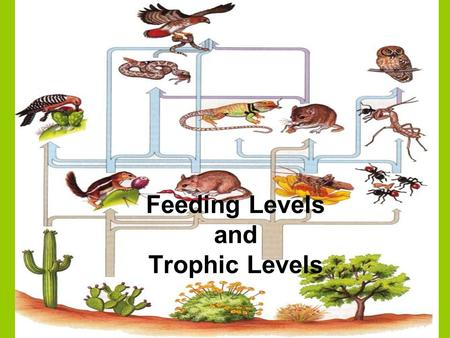 Feeding Levels and Trophic Levels. Trophic level refers to the organisms position in the food chain 1 st trophic level = autotrophs, producers(plants,