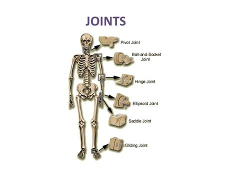 JOINTS. 2 Movement at a joint occurs when a muscle contracts and its fibers pull its moveable end (insertion) towards its fixed end (origin). Types of.