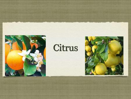 CitrusCitrus. History of Citrus Citrus is believed to have originated in the southeast part of Asia China, India and Burma. It was brought to Europe by.