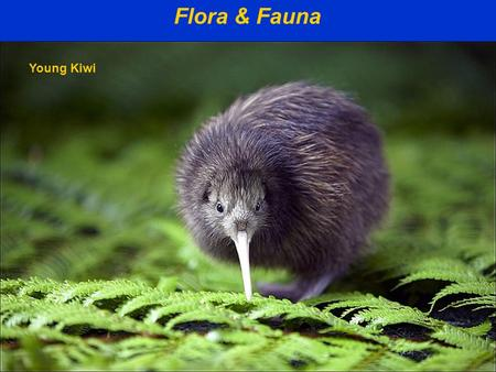 Young Kiwi Flora & Fauna. Tui FantailTuatara Wood pigeon or Kereru.