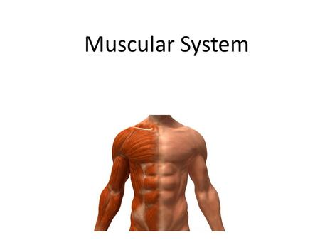 Muscular System. Lesson Objectives In today's lesson you will: Can I understand the effect of diet on my muscular system (B) Do I know that some drugs.
