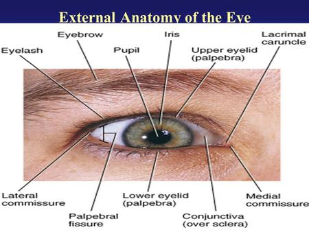 External Anatomy of the Eye. Lacrimal Apparatus of the Eye.