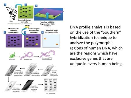 "DNA profile analysis is based on the use of the ""Southern"" hybridization technique to analyze the polymorphic regions of human DNA, which are the regions."