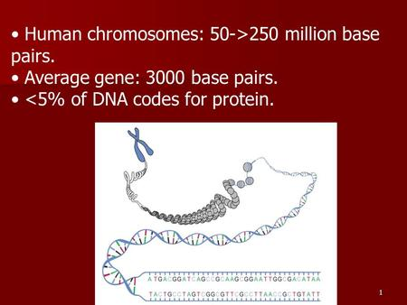 1 Human chromosomes: 50->250 million base pairs. Average gene: 3000 base pairs. <5% of DNA codes for protein.