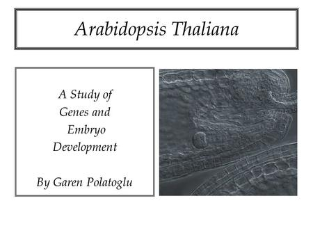 Arabidopsis Thaliana A Study of Genes and Embryo Development By Garen Polatoglu.