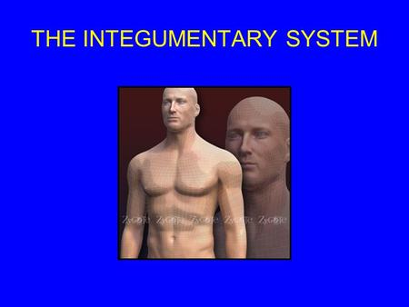 THE INTEGUMENTARY SYSTEM. THE INTEGUMENTARY SYSTEM IS MADE OF THE FOLLOWING: Integument (skin) Hairs Sweat Glands Oil Glands.