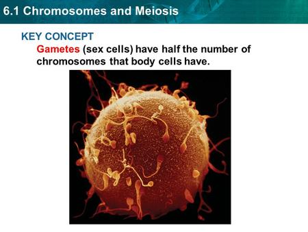 6.1 Chromosomes and Meiosis KEY CONCEPT Gametes (sex cells) have half the number of chromosomes that body cells have.