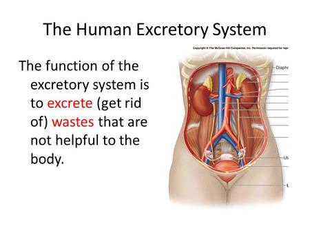 The Human Excretory System The function of the excretory system is to excrete (get rid of) wastes that are not helpful to the body.