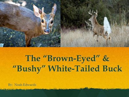 "The ""Brown-Eyed"" & ""Bushy"" White-Tailed Buck By: Noah Edwards."