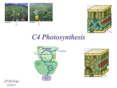 "C4 Photosynthesis AP Biology Unit 4 Review: C3 Photosynthesis During ""regular"" photosynthesis, CO 2 is trapped into a 3-carbon compound by Rubisco "