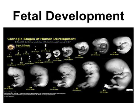 Fetal Development. First trimester—months 0-3 Second Trimester–months 4-6 Third Trimester—months 7-delivery.