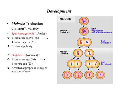 "Development Meiosis: ""reduction division""; variety Spermatogenesis (tubules):  1 immature sperm (46) 4 mature sperm (23)  Begins at puberty Oogenesis."