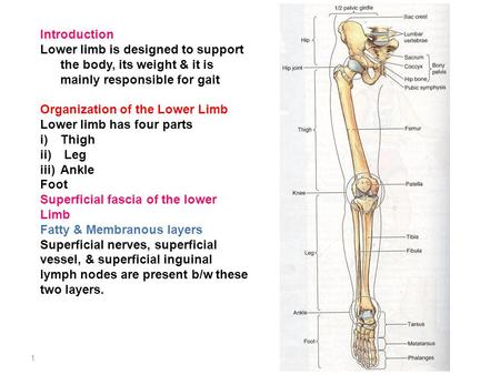 Introduction Lower limb is designed to support the body, its weight & it is mainly responsible for gait Organization of the Lower Limb Lower limb has four.