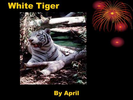 White Tiger By April. Description White tigers are rare. A white tiger is not a separate kind of tiger. They are just tigers with white fur.