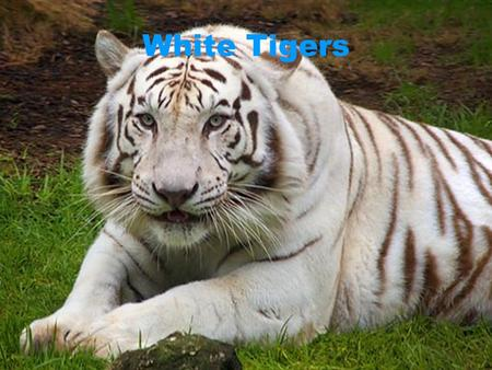 White Tigers. Tigers Are vary cool animals their natural born hunters But some times they get hunted by people who want their fur. Are vary cool animals.
