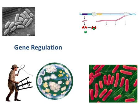 2007-2008 Gene Regulation Bacterial metabolism Need to respond to changes – have enough of a product, stop production waste of energy stop production.