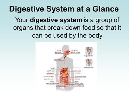 Digestive System at a Glance Your digestive system is a group of organs that break down food so that it can be used by the body.