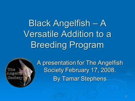 1 Black Angelfish – A Versatile Addition to a Breeding Program A presentation for The Angelfish Society February 17, 2008. By Tamar Stephens.