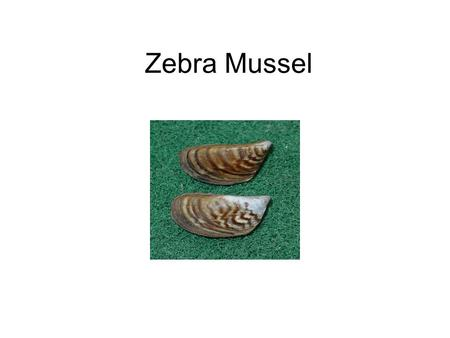 Zebra Mussel. Tree–of-Heaven Water Hyacinth Rainbow Trout.