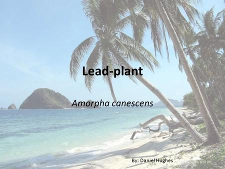 Lead-plant Amorpha canescens By: Daniel Hughes. Classification KingdomPlantae SubkingdomTracheobionta SuperdivisionSpermatophyta DivisionMagnoliophyta.