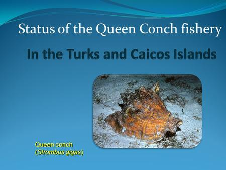 Queen conch (Strombus gigas) Status of the Queen Conch fishery.
