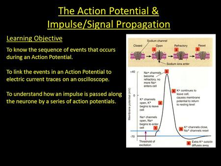 The Action Potential & Impulse/Signal Propagation