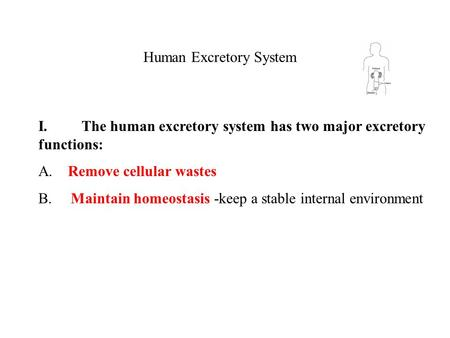 Human Excretory System I. The human excretory system has two major excretory functions: A. Remove cellular wastes B. Maintain homeostasis -keep a stable.