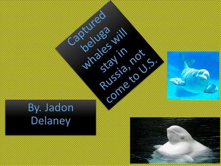 Captured beluga whales will stay in Russia, not come to U.S. By. Jadon Delaney.