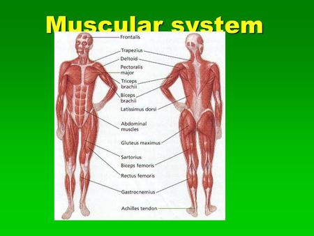 Vertebrate Muscle Anatomy Muscles: convert the chemical energy of ...