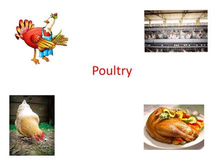Poultry. Poultry Basics 'Poultry' usually refers to chickens and turkeys, but also includes ducks, geese, pheasant, quail, ostrich…. Poultry 2 nd highest.