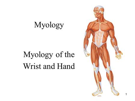 1 Myology Myology of the Wrist and Hand. 2 Anatomical Review Distal Ulna and Radius (Notes in Lecture 3)