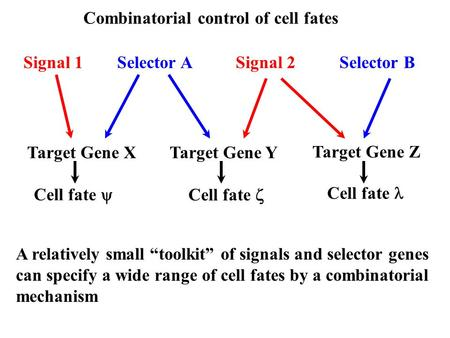 Combinatorial control of cell fates Signal 1Signal 2Selector ASelector B Target Gene XTarget Gene Y Target Gene Z Cell fate  Cell fate  Cell fate A relatively.