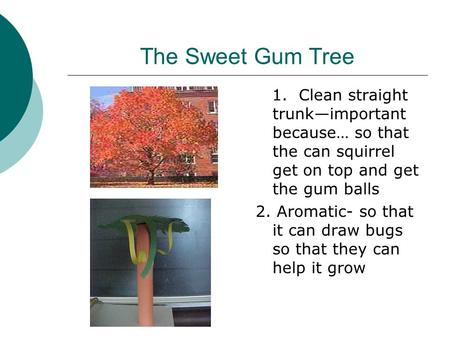 The Sweet Gum Tree 1. Clean straight trunk—important because… so that the can squirrel get on top and get the gum balls 2. Aromatic- so that it can draw.