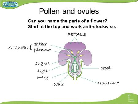 Pollen and ovules PETALS sepal NECTARY ovule ovary style stigma anther filament STAMEN { Can you name the parts of a flower? Start at the top and work.